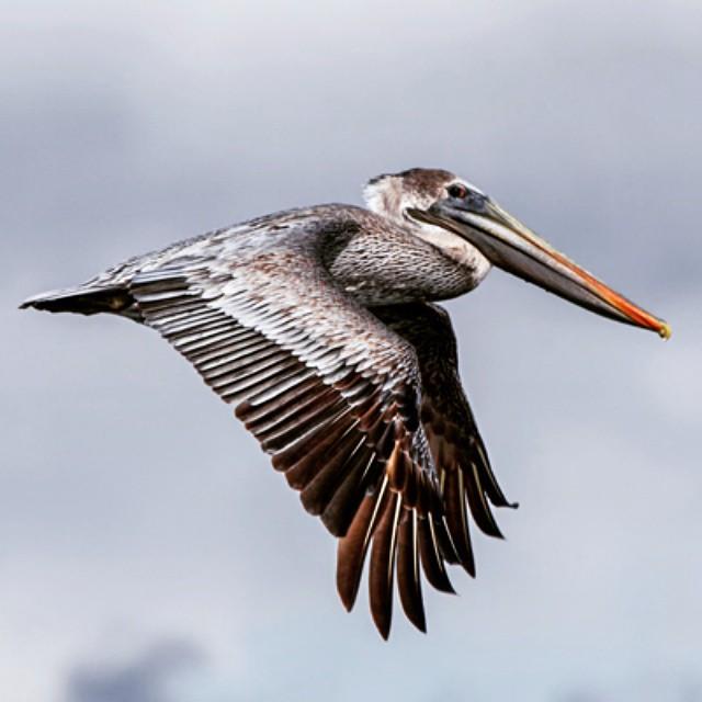 Brown Pelican state bird of Louisiana Nice shot of this brown pelican I flight. BrownPelican pelican Louisiana LouisianaStateBird
