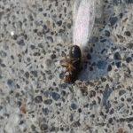 swarmer termites